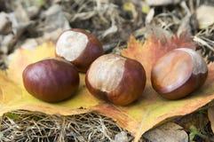 Aesculus hippocastanum trägt Früchte, dunkelbraune und beige Farbe Lizenzfreie Stockfotografie