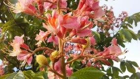 Aesculus Hippocastanum u. x28; Pferd Chestnut& x29; mit rosa Blüten und kleinen neugeformten grünen Samen Lizenzfreie Stockfotografie