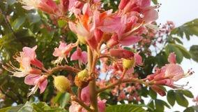Aesculus Hippocastanum u. x28; Pferd Chestnut& x29; mit rosa Blüten und kleinen neugeformten grünen Samen Stockbild