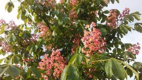 Aesculus Hippocastanum u. x28; Pferd Chestnut& x29; mit rosa Blüten und kleinen neugeformten grünen Samen Stockfoto