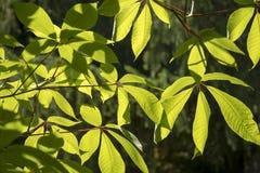 Aesculusparviflora Fotografering för Bildbyråer