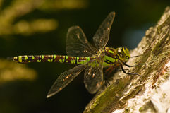 Aeshna cyanea. Large colorful dragonfly - female Royalty Free Stock Photography