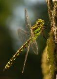 Aeshna cyanea. Large colorful dragonfly - female Stock Photo