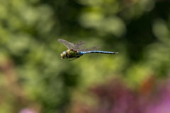 Aeshna Cyanea Dragonfly Royalty Free Stock Images