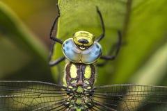 Aeshna cyanea dragonfly stock image