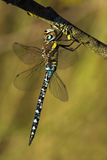 Aeshna mixta dragonfly drying on a wash-line Royalty Free Stock Photo