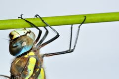 Aeshna mixta dragonfly on green stalk Royalty Free Stock Photo