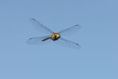 Aeshna mixta in flight Stock Images