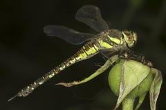 Aeshna Mixta / Migrant Hawker Dragonfly Stock Photography