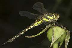 Aeshna mixta / migrant hawker Dragonfly Stock Photography