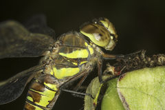 Aeshna mixta / migrant hawker Dragonfly Royalty Free Stock Image