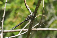 Aeshna subarctica. The dragonfly Aeshna subarctica sitting on a twig stock images