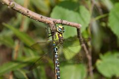 Dragonfly. Aeshnidae hawker dragonfly on a branch stock photo