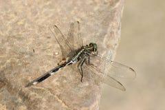 Aesthetic dragonfly Stock Photos