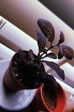 Aesthetic plant. Aesthetic veiny red plant nature royalty free stock photography