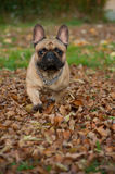 Aesthetics of Ugliness. The French Bulldog or Frenchie is an extrmely controversial dog breed - some people find them cute, others downright grotesque royalty free stock images