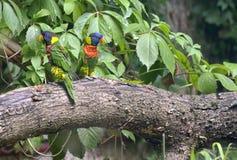 Aestiva Amazona попугая Амазонки Стоковая Фотография