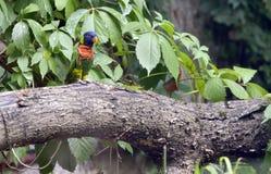 Aestiva Amazona попугая Амазонки Стоковое Изображение