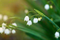Aestivum van Leucojum van sneeuwvlokbloemen het groeien in de lentetuin stock fotografie