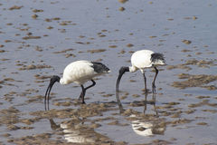 aethiopica ibisa święty threskiornis Obraz Stock