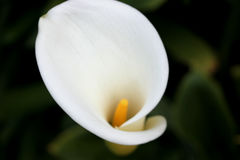Aethiopica Zantedeschia, κρίνος της Calla, κρίνος Arum Στοκ Εικόνες