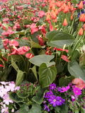 Aethiopica Zantedeschia Στοκ εικόνες με δικαίωμα ελεύθερης χρήσης