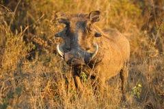 aethiopicus非洲野猪属warthog 免版税库存图片