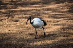 Aethiopicus Threskiornis священного ibis стоковые изображения rf