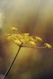 Aethusa cynapium ordinary. Royalty Free Stock Photography