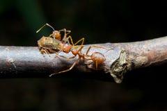 Afídios das formigas. Fim acima. Fotografia de Stock