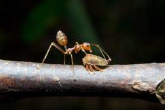 Afídios das formigas. Fim acima. Imagem de Stock