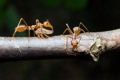 Afídios das formigas. Fim acima. Fotografia de Stock Royalty Free