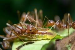 Afídios das formigas. Fim acima. Fotos de Stock