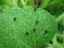 Afídios que comem uma folha da planta da abóbora imagem de stock