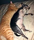 Afagos do gatinho e do cachorrinho Imagem de Stock