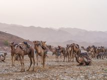 Camel market in the Afar region in northern Ethiopia. AFAR REGION, ETHIOPIA - JUNE 28, 2016: Camel market in the Afar region in northern Ethiopia, shortly after Stock Photo