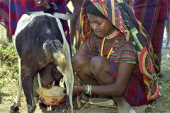 Afar teen milking goat in traditional colorful dress Stock Photo
