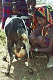 Afar teen milking goat in traditional colorful dress Royalty Free Stock Photography