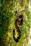Afectado por el tronco de los parásitos del árbol imágenes de archivo libres de regalías