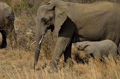 Afecto del elefante Foto de archivo