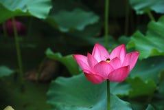 Afecto entre el loto y la abeja Imagen de archivo libre de regalías