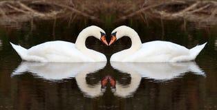 Afeição da cisne Fotografia de Stock Royalty Free