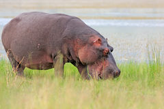afeican hipopotam Fotografia Stock