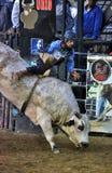 Aferrar-se do cavaleiro do touro do rodeio a um touro do solavanco Imagem de Stock