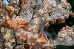 Afetado por ramos das pragas Fotos de Stock Royalty Free