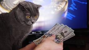 Affärsman som räknar pengar på tabellen Gray British katt som ser pengarna stock video