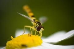 Affamato hoverfly Fotografia Stock Libera da Diritti