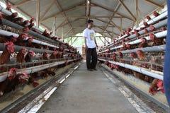 Affare del bestiame del pollo Fotografia Stock
