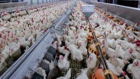 Affare dell'azienda avicola allo scopo di coltivare carne Fotografia Stock Libera da Diritti