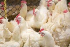 Affare dell'azienda avicola allo scopo di coltivare carne Fotografia Stock